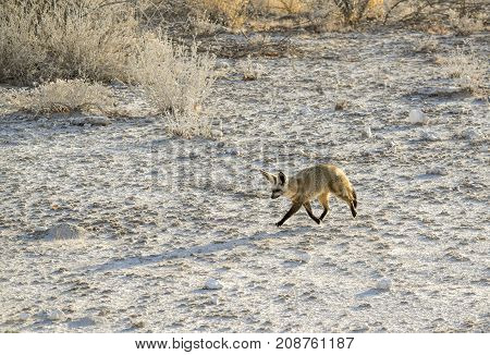 walking Jackal in Namibia in savanna ambiance at evening time