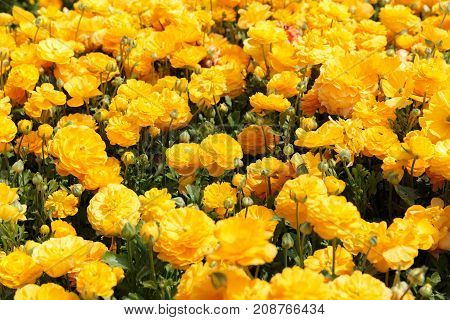Is a Orange asian buttercup yellow background