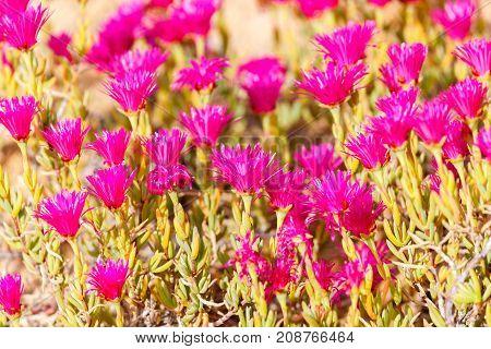 Carpobrotus Flowers Magenta Color