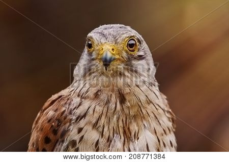 Portrait of the Common Kestrel (Falco Tinnunculus)