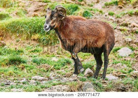 Ram On Pasture