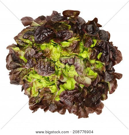 Red oak leaf lettuce from above isolated over white. Also called oakleaf, a variety of Lactuca sativa. Red butter lettuce with distinctly lobed leaves with oak leaf shape. Macro closeup photo.