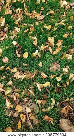 Yellow leaves on the grass in autumn, spring grass on field, view from the top, fallen leaves scattered, autumn background on the wild.