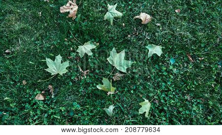 Yellow leaves on grass in autumn, spring grass the field, view from the top, fallen leaves scattered, autumn background the wild.
