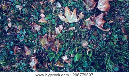 Yellow leaves on grass autumn, spring grass the field, view from the top, fallen leaves scattered, autumn background the wild.