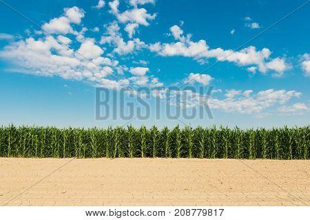 field of corn on blue sky background