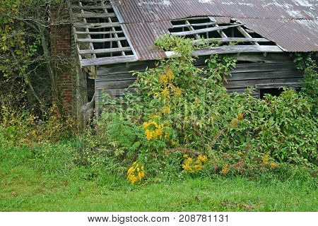 yellow wildflowers in front of a collapsing barn