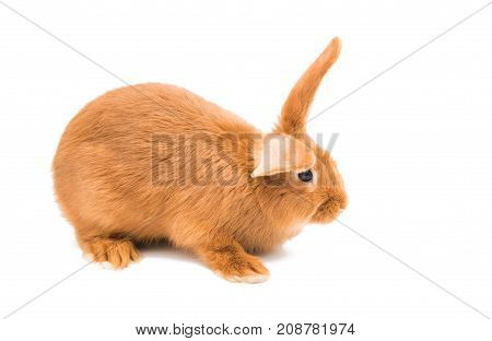 looking red rabbit on a white background