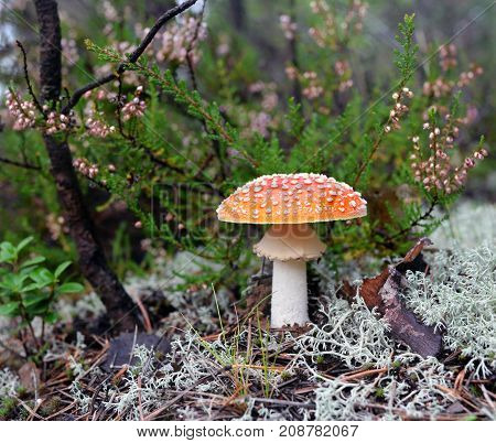 The red fly-agaric grows in the wood near a reindeer lichen against of the blossoming heather scrub. The beautiful mushroom is toxicant and hazardous to health and life. In the last centuries it was used as an insecticide.