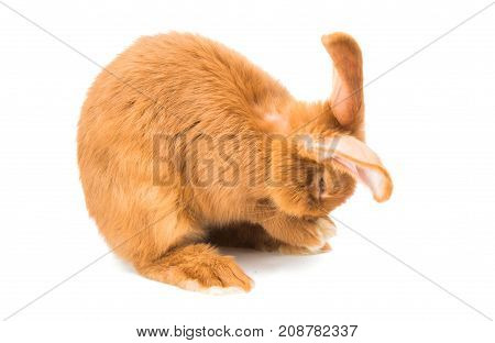 red rabbit animal on a white background