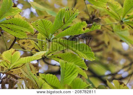 Season Of Beautiful Chesnut Tree With Autumn Leaves. Nature Background.