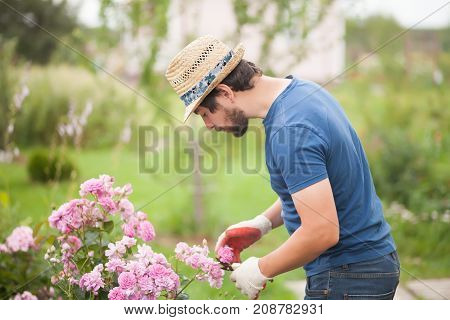 Gardener Wearing Gloves And Straw Hat Pruning Rose Flowers
