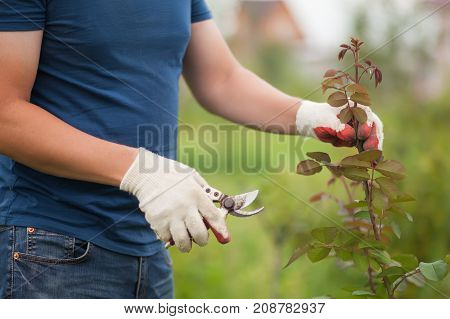 Closeup Of Hands In White Gloves And Secateurs Pruning Rose Bush
