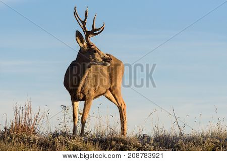 Mule Deer Buck moving through a field at sunrise stops to look around.