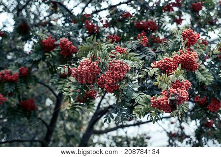 Ripe berries of mountain ash, grow on a tree, autumn red berries, close-up, vintage style in a park.