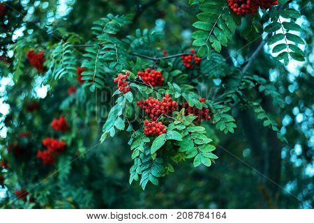 Ripe berries of mountain ash, grow on a tree, autumn red berries, close-up, vintage style park.
