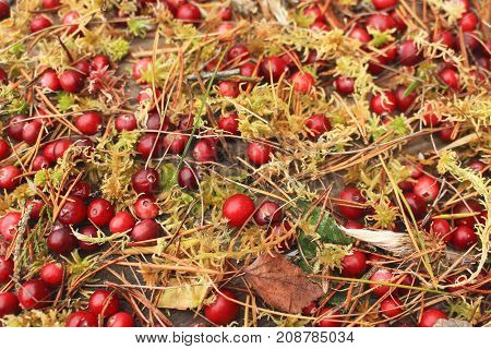 Red cranberry with damp moss dry leaves and pine needles