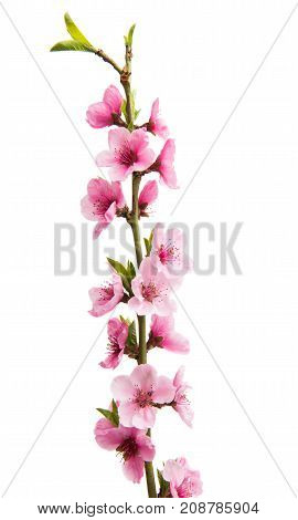 Sakura delicate flowers isolated on white background