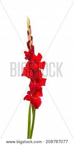 bloom  beauty gladiolus flower on white background