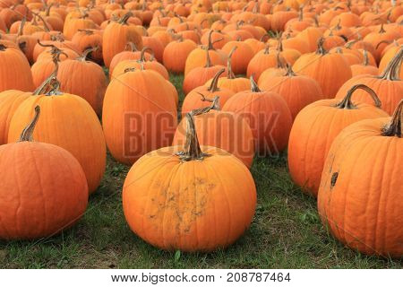 Rows of pumpkins for sale at a farmers market