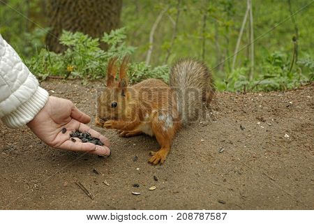 Closeup of female hand with sunflower seeds feeding a squirrel