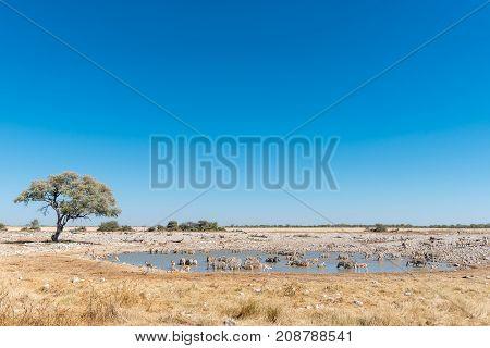 A herd of Burchells zebras Equus quagga burchellii drinking water in a waterhole in Northern Namibia