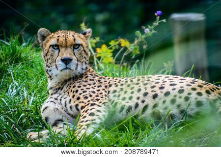 Male of Sudan cheetah (Acinonyx jubatus soemmeringii) in grass