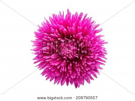 Pink aster flowers isolated on white background