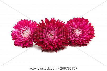 Red aster flowers isolated on white background