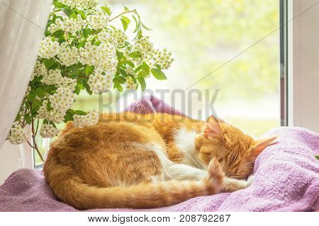 Red-and-white Cat Is Sleeping On The Windowsill.