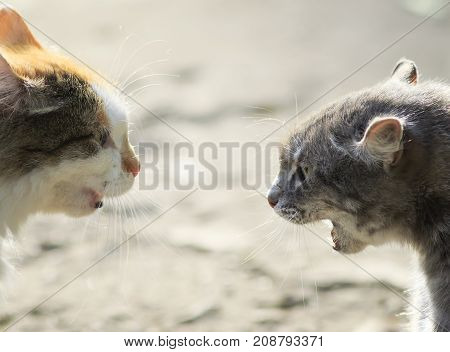portraits of two aggressive cats facing each other hiss at each other