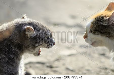 heads of two aggressive cats facing each other hiss at each other