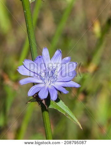 Common Chicory Cichorium intybus flower with blurred background macro selective focus shallow DOF.
