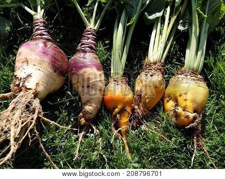 Fodder beet and Rutabaga - crop harvest , (Brassica napobrassica)(Beta vulgaris 'Mangelwurzel')