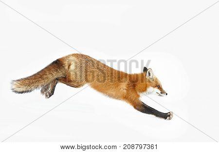 Red fox (Vulpes vulpes) running in winter in Algonquin Park