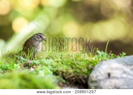 In the forest next to a feeding place there is a Dunnock