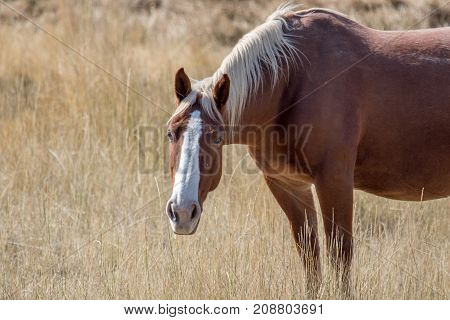 Lone horse with white face a.nd head down in a pasture in autumn. Dry grass meadow