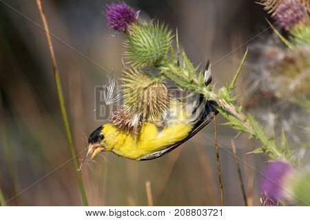Male American goldfinch picking thistle seeds out of a blooming thistle plant in summer.
