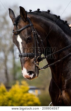 Portrait Of Dressage Horse In The Arena