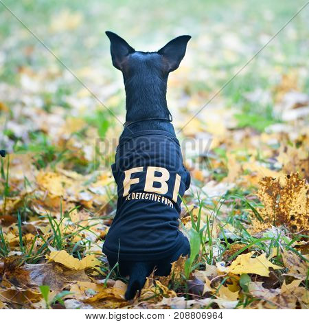Dog is an FBI agent. Funny puppy toy terrier in costume fbi. The dog is a detective.