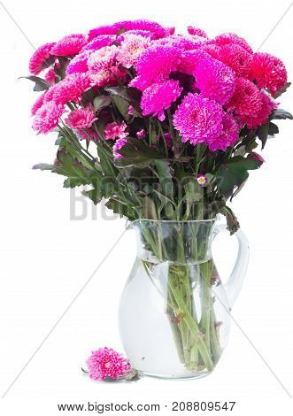 magenta pink chrysanthemum flowers in vase isolated on white background