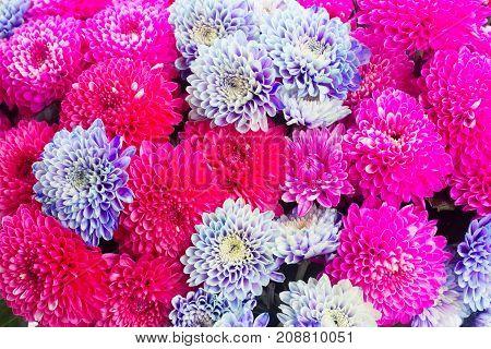 magenta pink and blue chrysanthemum flowers macro background