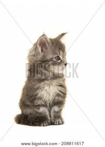 Cute tabby siberian forest kitten cat looking to the right isolated on a white background