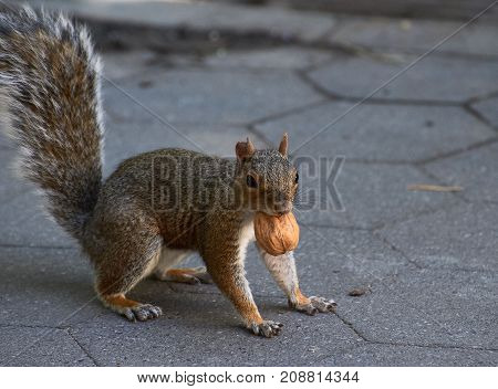Squirrel with wallnut between teeth in the city park