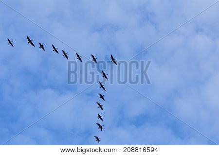 Group Of Migrating Geese Birds
