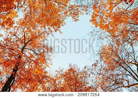 Autumn trees. Orange autumn treetops on the background of blue sky. Autumn background - autumn colorful trees in the autumn forest. Colorful view of forest autumn nature. Forest trees in the autumn forest