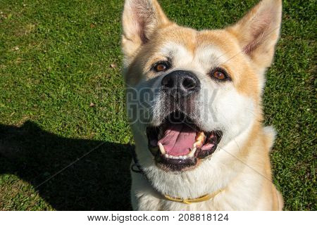A Very Happy Red Dog With Opened Mouth And Brown Eyes