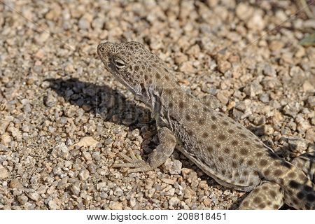 Close up of a Side Blotched Lizard in Joshua Tree National Park in California