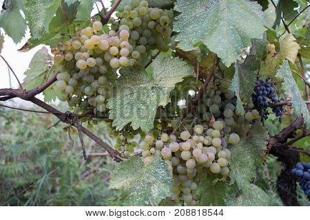 Branches of White wine grapes growing in Georgian fields. Close up view of fresh White wine grape in Georgia. Detail of Handmade grape harvest