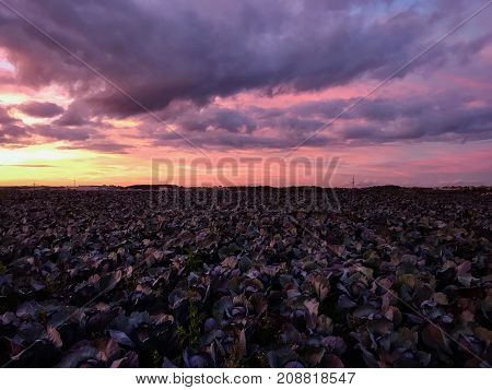 Cabbage vegetable agriculture fields with dramatic sunset sky in the background.